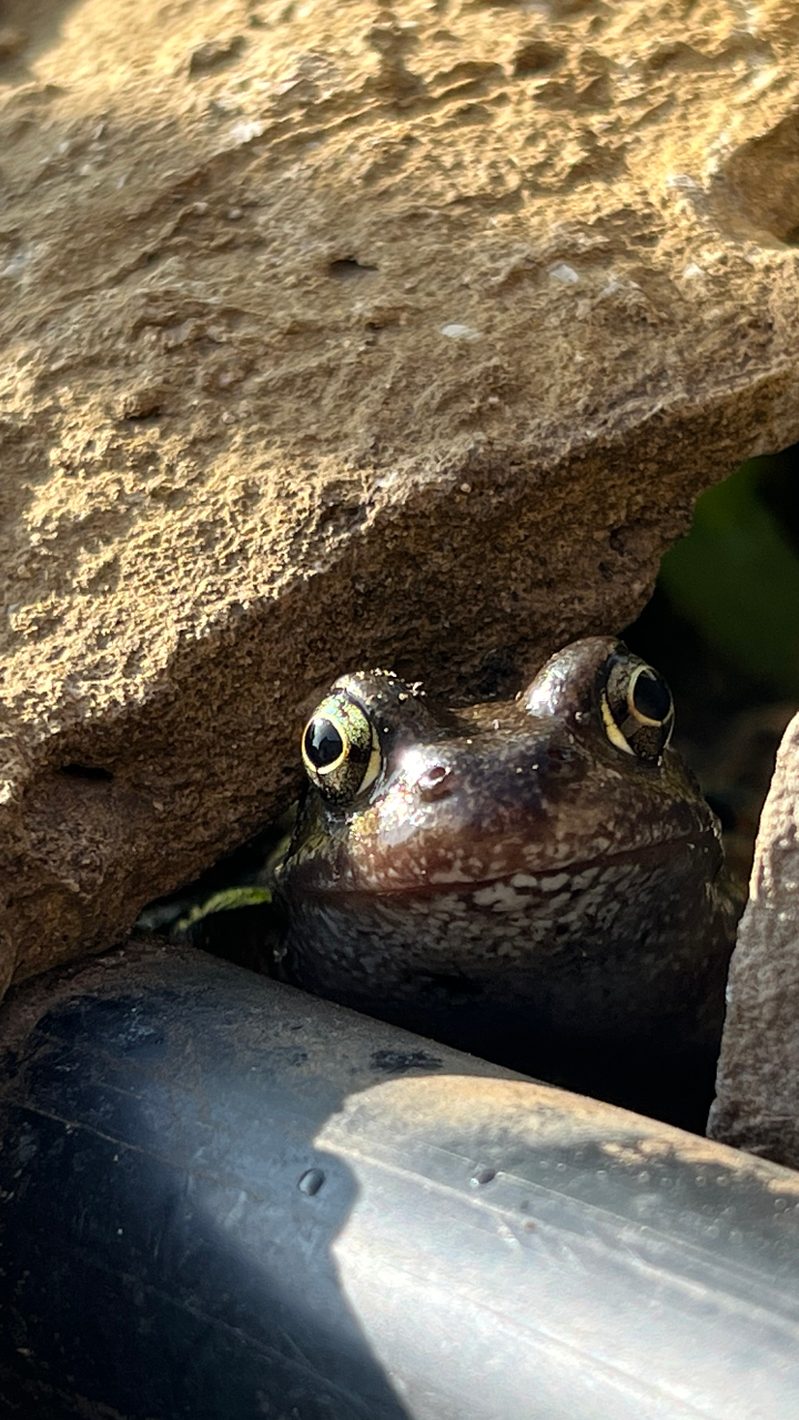 Froggle rock